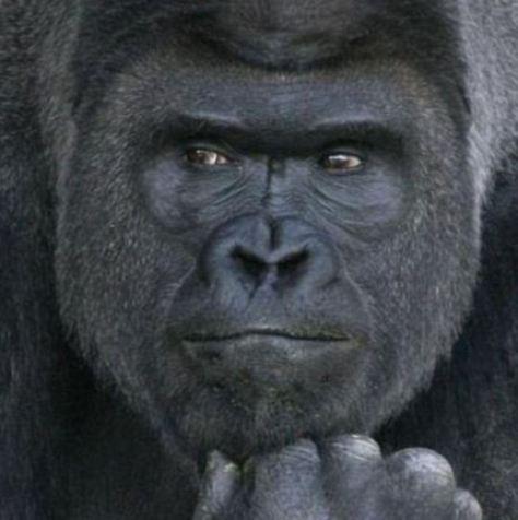 Gorila-apuesto_MDSIMA20150626_0094_36