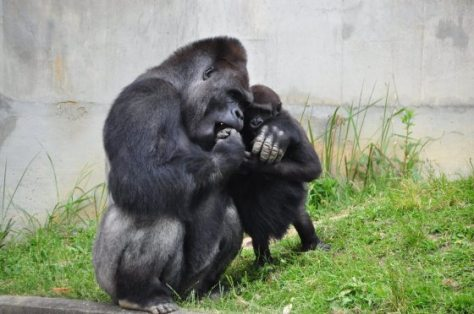 """Shabani is a 18 year old male gorilla at Higashiyama Zoo and Botanical Garden. The """"handsome"""" gorilla is super popular with young ladies and families. Zoo officials tell CNN that he got the stardom after the netizens started to tweeting and FBing about his handsome photo used for its spring festival posters in April."""